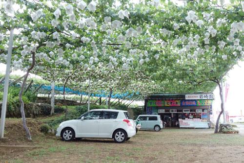 ぶどうのカーテンで日陰になっている岩崎園の駐車場