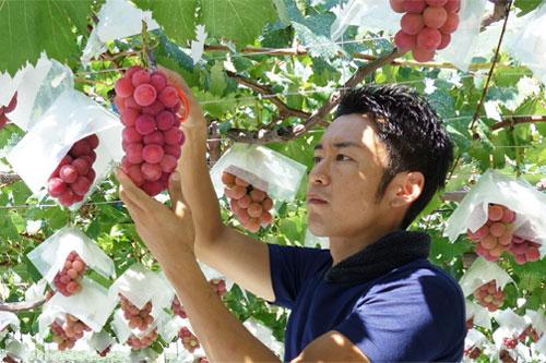 ぶどうの収穫作業