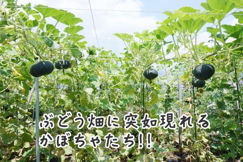 ぶどう畑で作るかぼちゃ