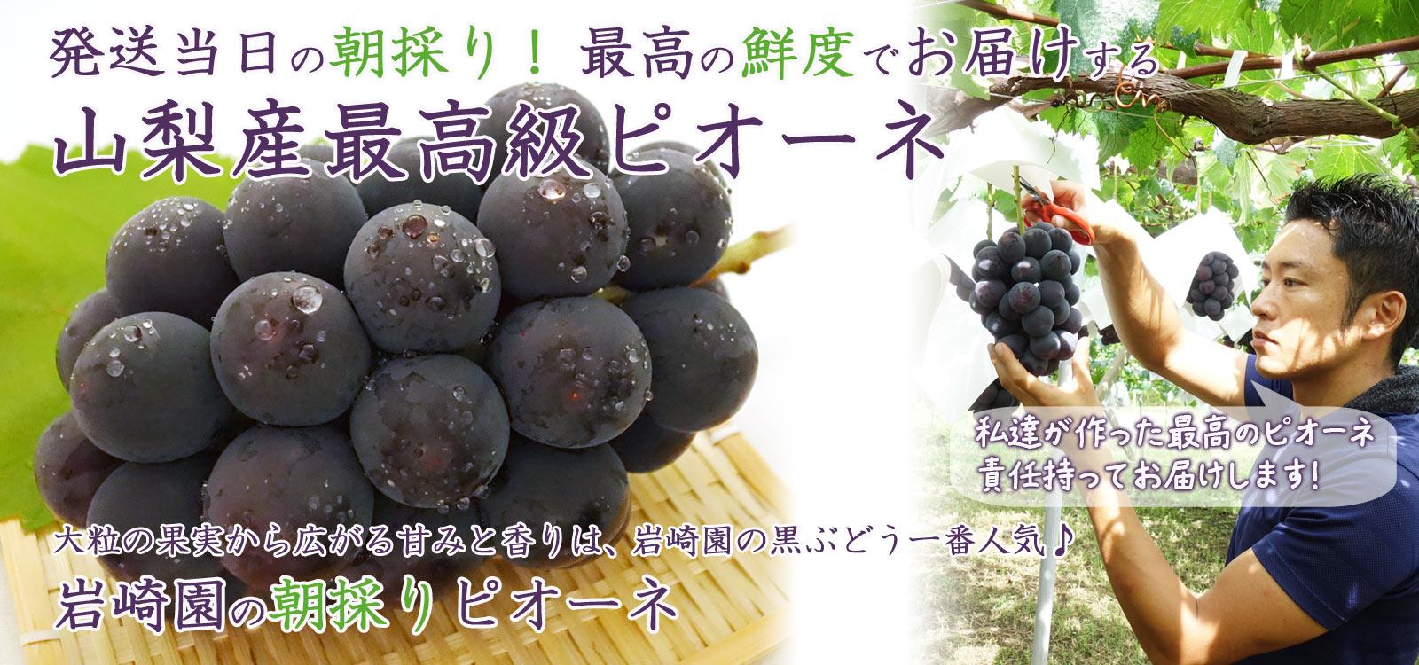 大粒の果実から広がる甘みと香りは、岩崎園の黒ぶどう1番人気♪岩崎園の朝採りピオーネ