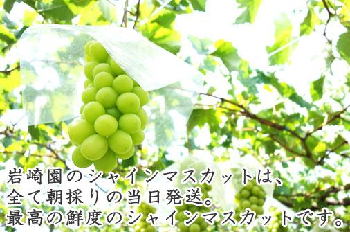岩崎園のシャインマスカットは、全て朝採りの当日発送。最高の鮮度のシャインマスカットです。