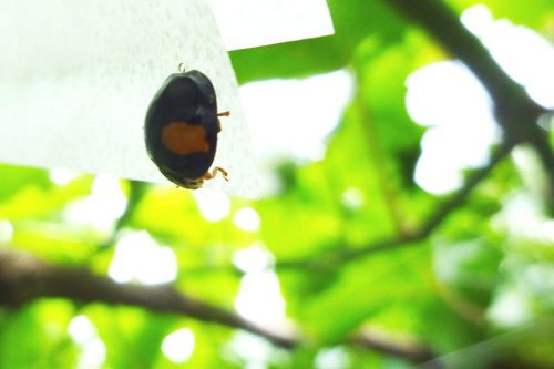 ぶどう畑のてんとう虫