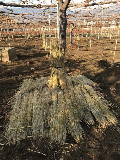 ぶどうの木に敷いた稲わら