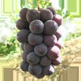 紫玉の画像